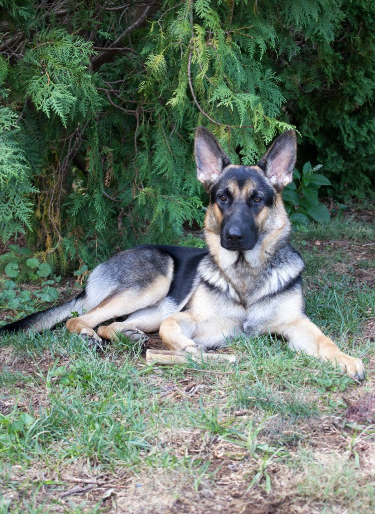 german shepherd dog lying in grass