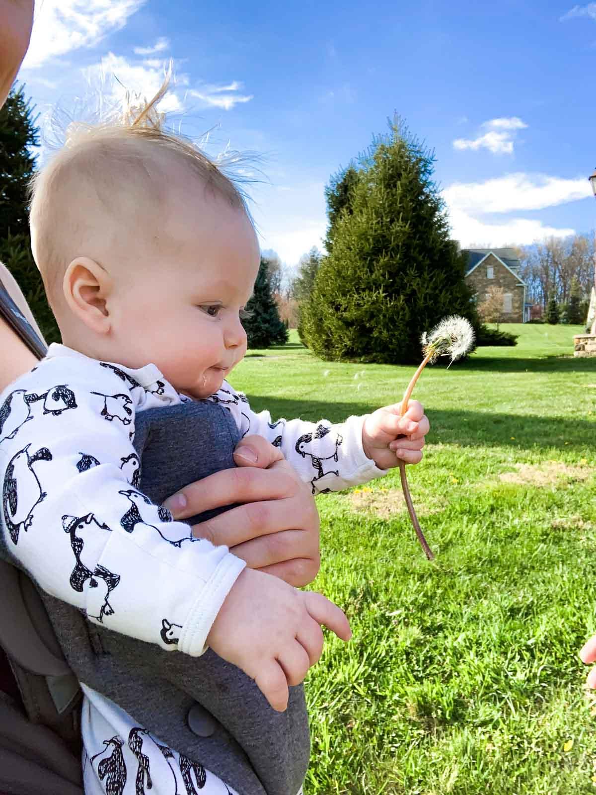 baby holding white dandelion