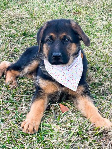 german shepherd puppy in grass wearing sprinkle bandana