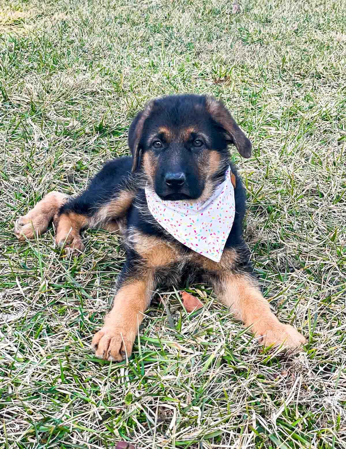 german shepherd puppy wearing sprinkles bandana